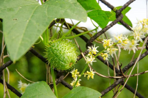 Chayote-Setzling - die neue Superfrucht