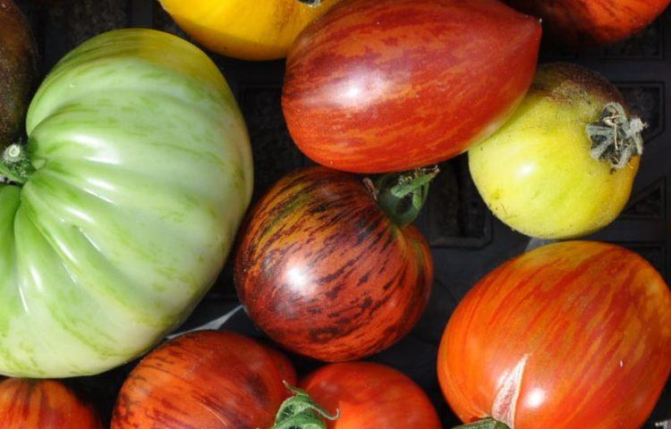 Saatgut von vielen Tomatensorten